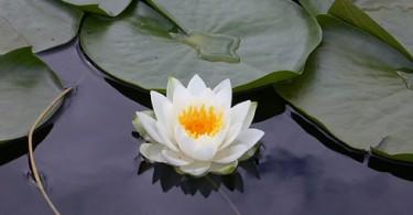 loto bianco, Krishnamurti e la meditazione