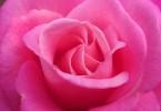 rosa inorto