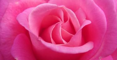 rosa-inorto