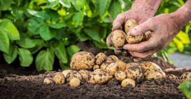 Raccolta patate, tornare a sentire l'armonia dell'anima